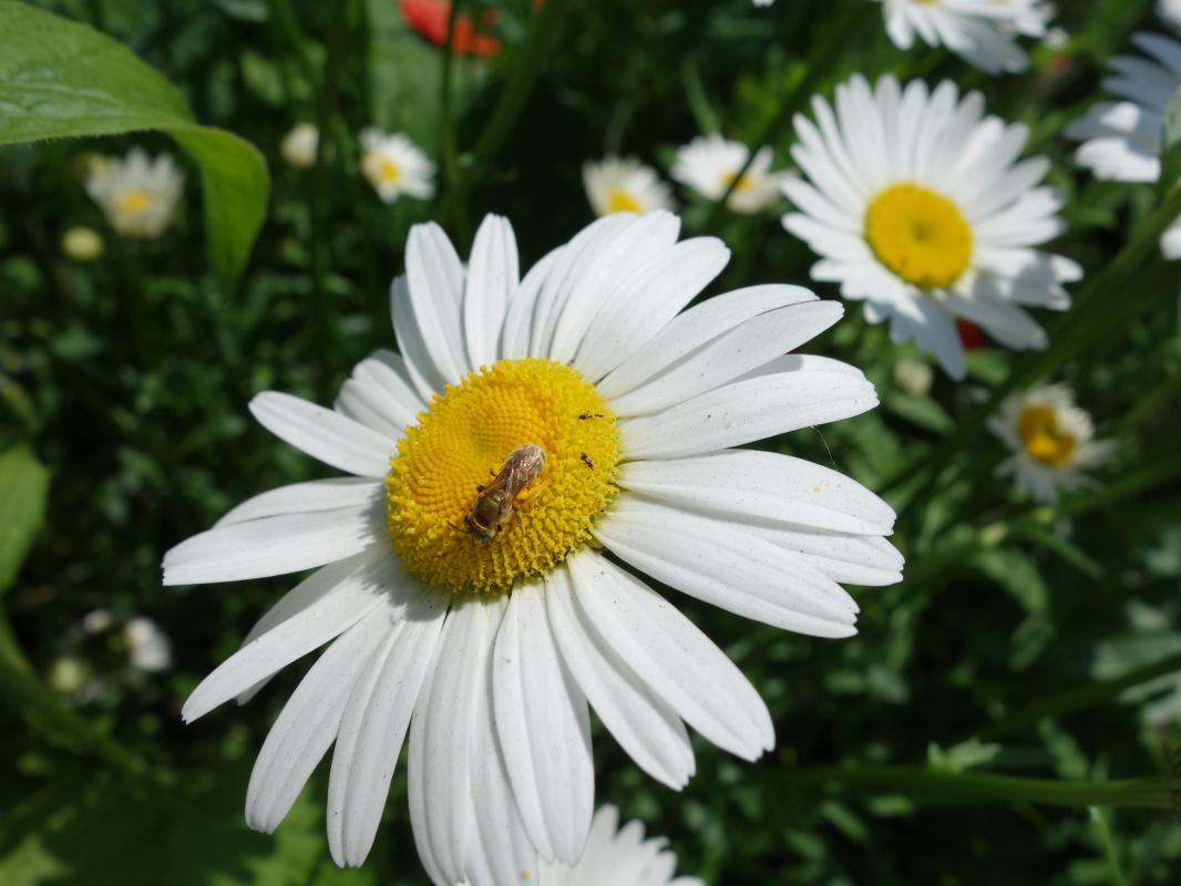 Aktive  Pollensammlerin.