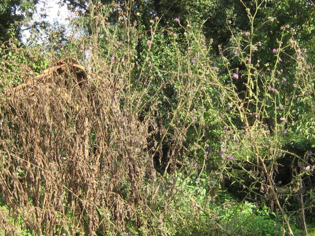 Distel-Urwald.    Wo ist das  Bienenhaus?