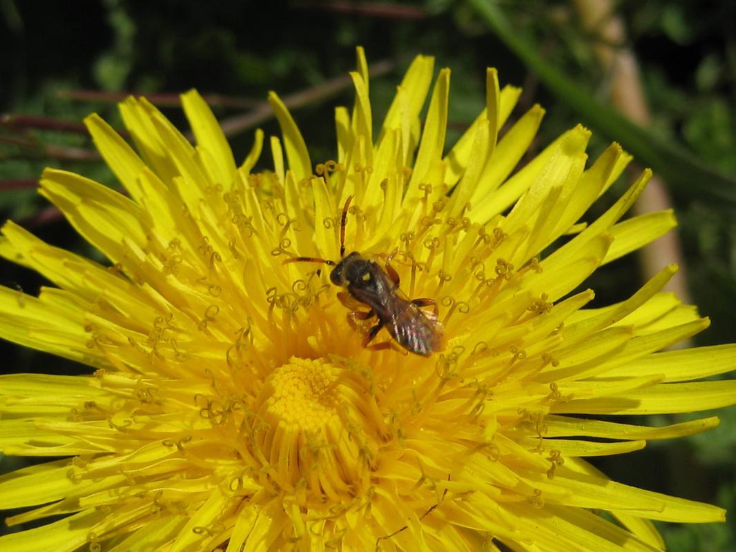 Bienen mögen auch  Löwenzahn.