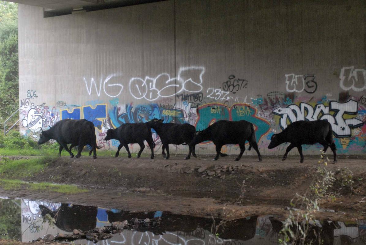 Wasserbüffel unter der Autobahnbrücke